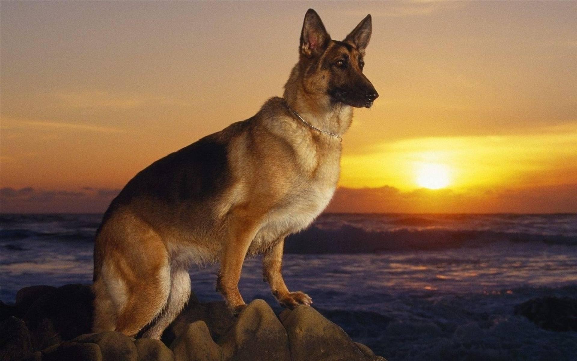 狗狗起源于狼吗?